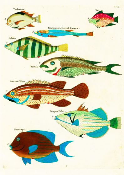 Renard, Louis: Illustrations of Marine Life Found in Moluccas (Indonesia). Art Print/Poster (4967)